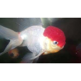 kinguio oranda red cap xg