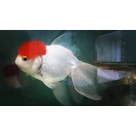 Kinguio Oranda Red Cap Mtz