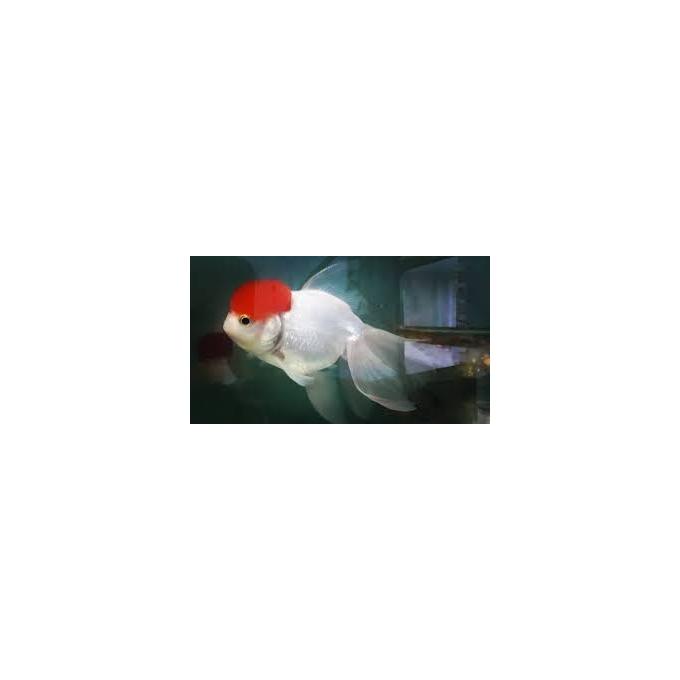 Kinguio Oranda Red Cap Mtz