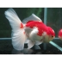 Kinguio Oranda Red White Mtz