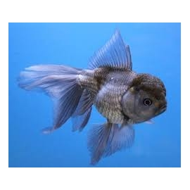 KINGUIO ORANDA BLUE SCALE MED