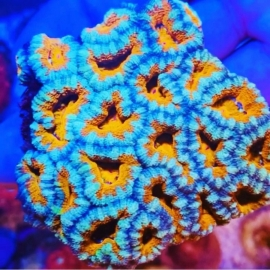 Coral Acan lord multicolor aust pq
