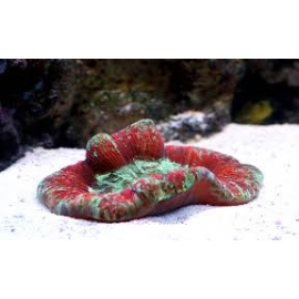 CORAL OPEN BRAIN RED MD