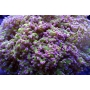 Coral Frogs Ponta Rosa boca