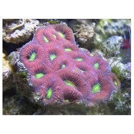 coral favia prizm PQ