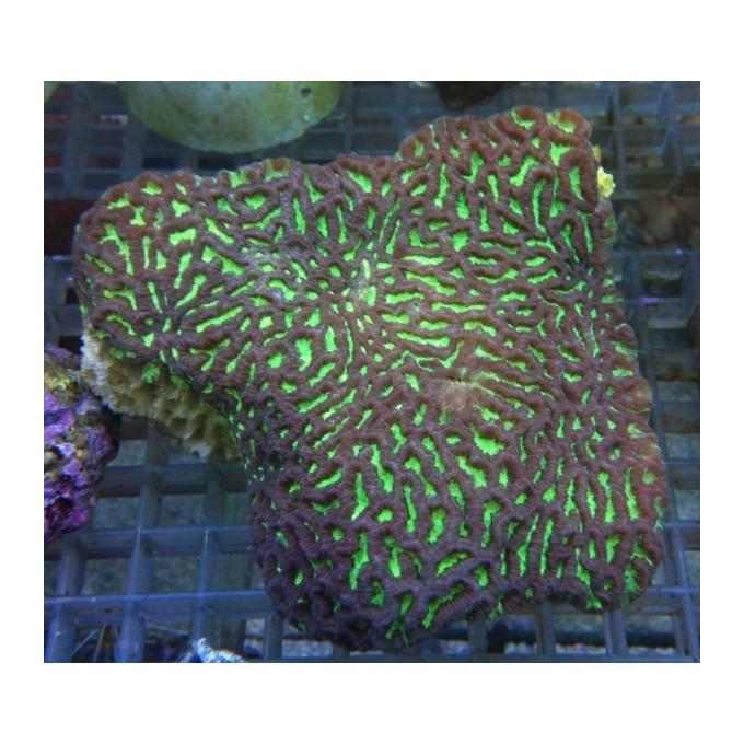 Coral Favites valenciennesi gr