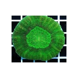 CORAL SCOLYMIA GREEN MD