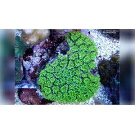 coral galaxea astreata pq