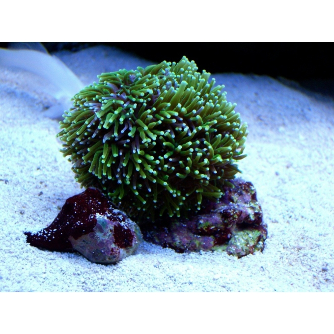 Coral Galaxea Green Md