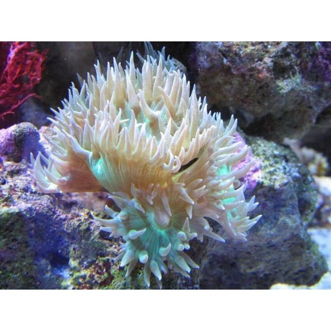 Coral Duncanopsama 4 Bocas