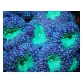 coral blastomussa welsii gren md