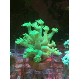 coral goniopora stokesi green pq