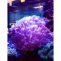Coral Goniopora Stokesi Green Gr