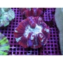 Coral Bali Brain Dome Red Med