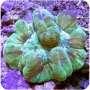 Coral Bali Brain Green Md