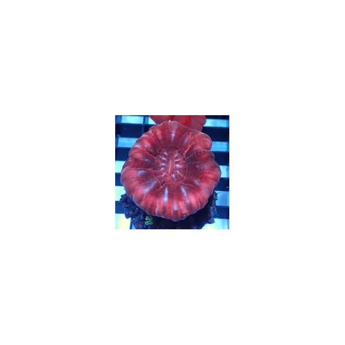 Coral Cynarina Red Md