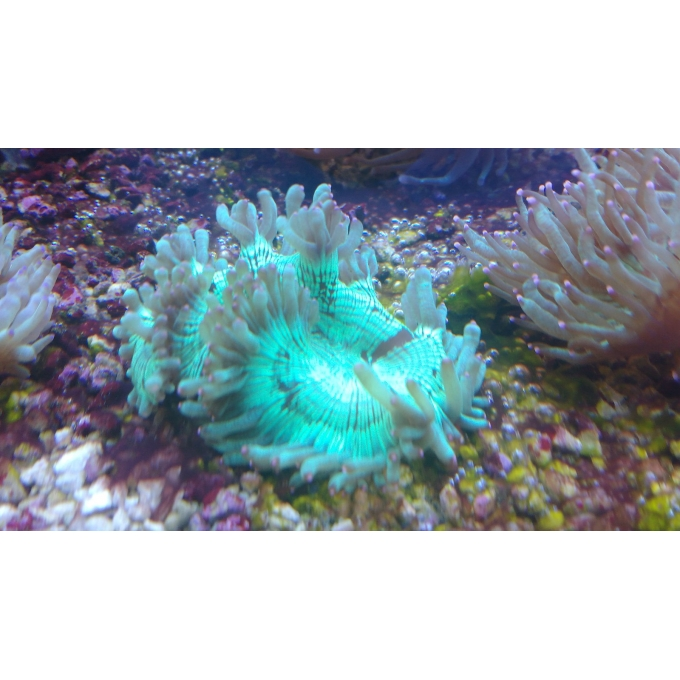 Coral Elegance Green Md