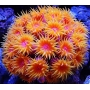 Coral Sun Coral Red