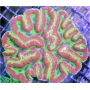 Coral Symphyllia Green Md