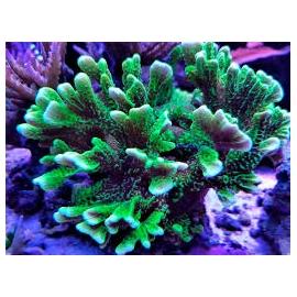 coral montipora confusa pq