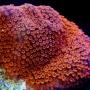 Coral Montipora Superman Gr-acr