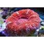 Coral Acan Maxima Peq