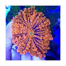 Coral Ricordea Yuma