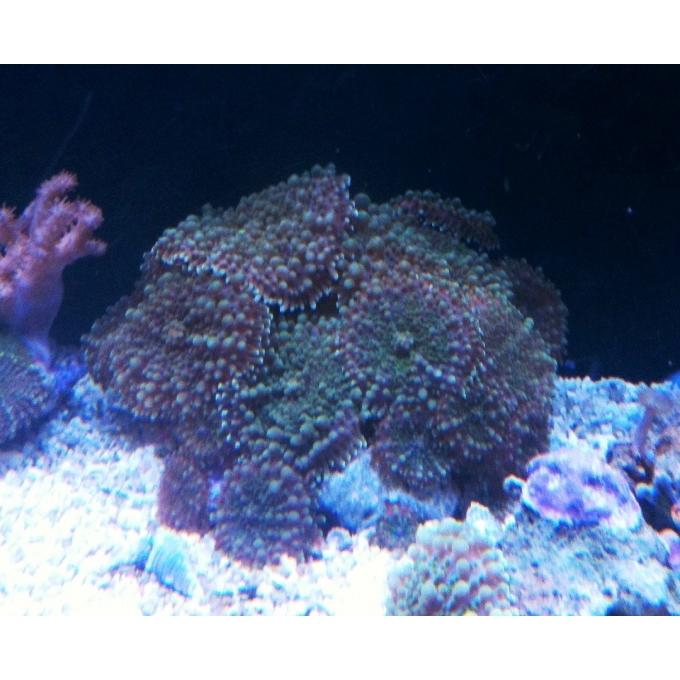 Coral Ricordea Gigantea Pedra Gr