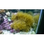 Coral Yellow Polyps Md