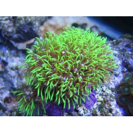 CORAL STAR POLYPS GREEN METALIC MUDA PEQ