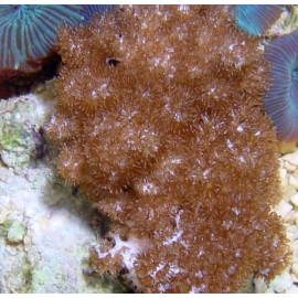 Coral Colt Soft Coral md