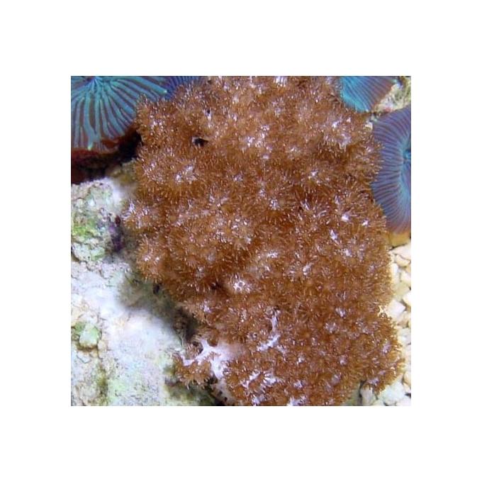 Coral Colt Soft Coral md