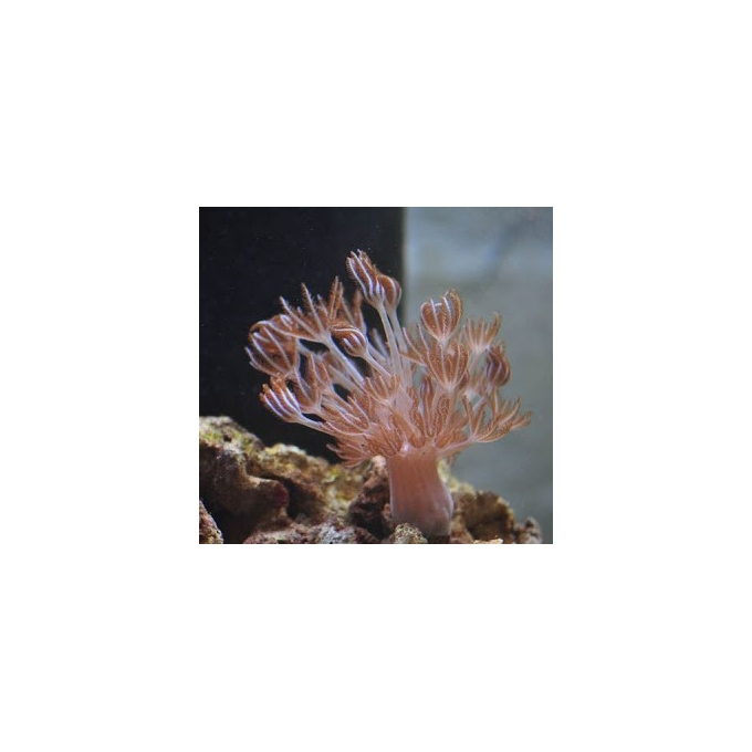 Coral Xenia Giant Gr