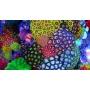Coral Zoanthus Multicolor Xgr