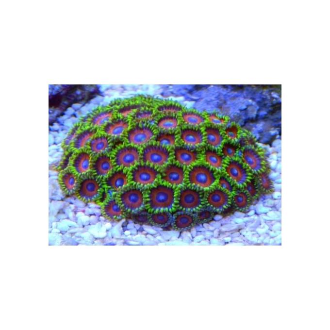 Coral Zoanthus Watermelon Peq