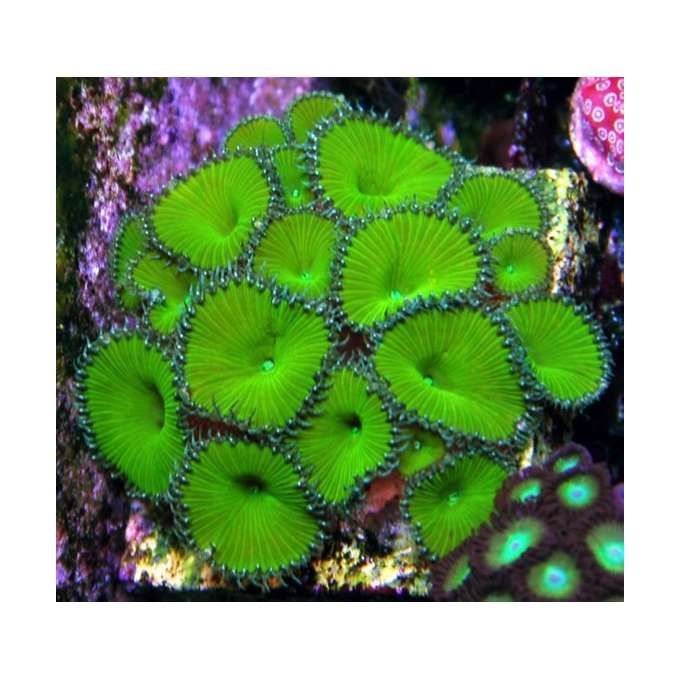 Coral zoanthus palitoa green metalic gr