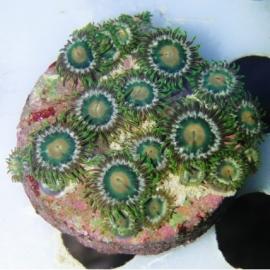 coral zoanthus avocado