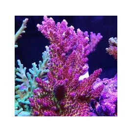 CORAL ACROPORA RED PLANET MED