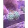 Coral Hammer Branch Green Bc