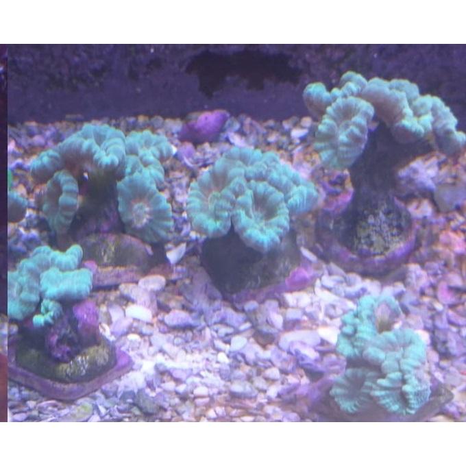 Coral Trumpet Green Peq