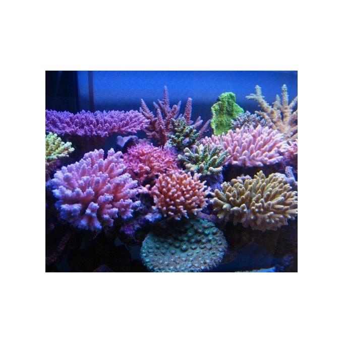 Coral Acropora Color Muda Peq