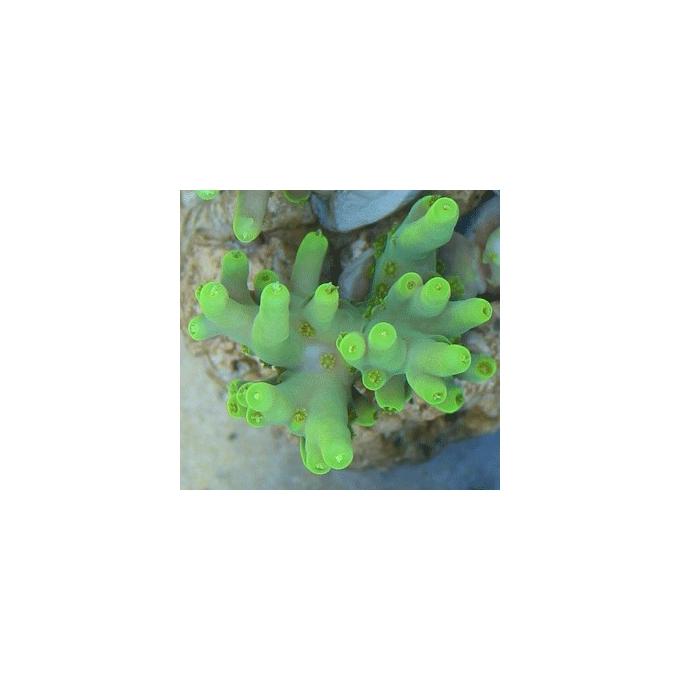 Coral Acropora Locani Banana Peq