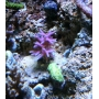 Coral Seriatopora Hystrix Pink Peq