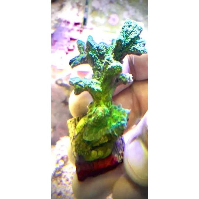 Coral Edinophora Peq