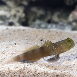 goby blue spotted watchman