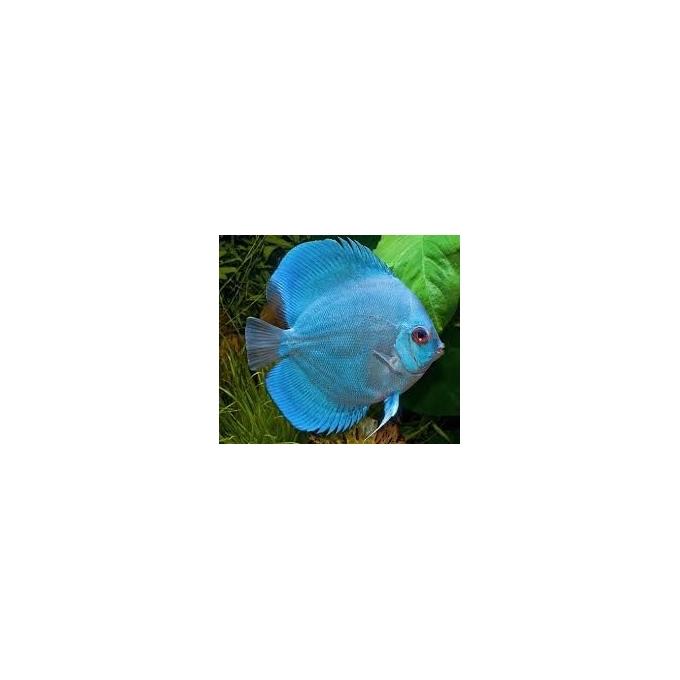 Acará Disco Blue Daimond 10 Cm