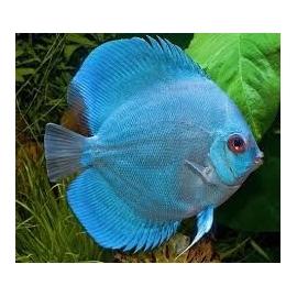 Acará Disco Blue Daimond Imp 16 cm