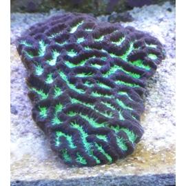 Coral Platygira Ultra Green Austra. Gr