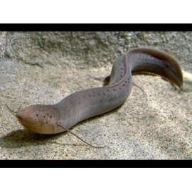 PROTOPTERUS AFRICAN LUNGFISH