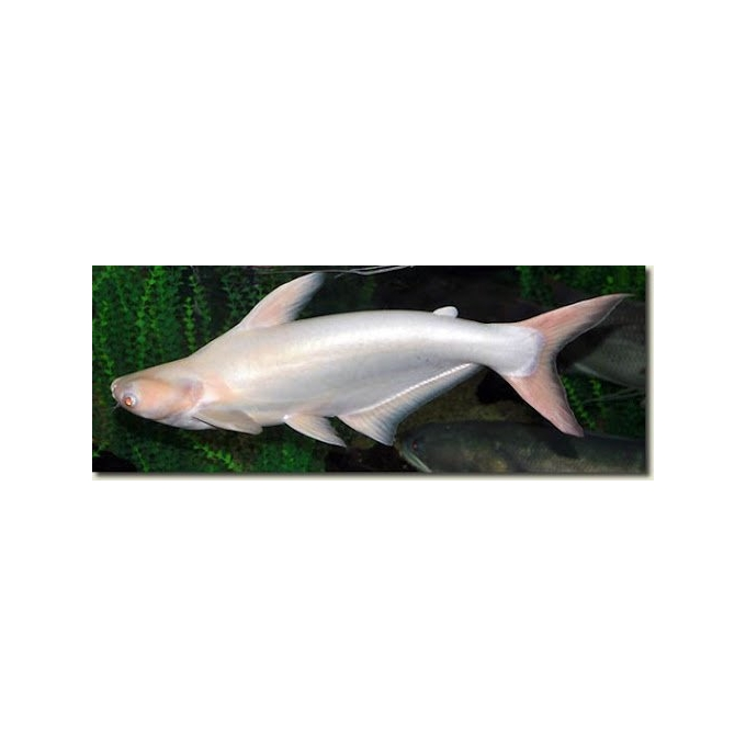 Pangasius Albino Mtz